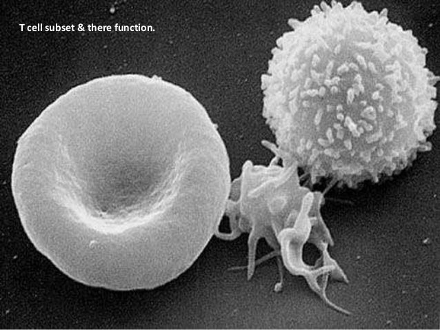 T cell subset & there function.