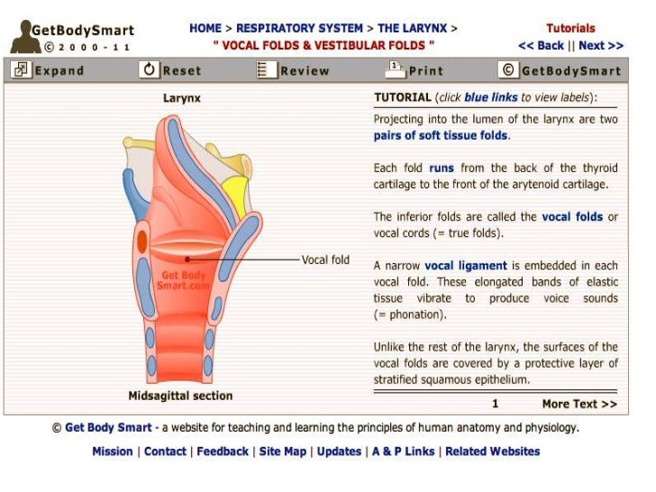 The role of the Larynx, cartilage, vocal folds in singing