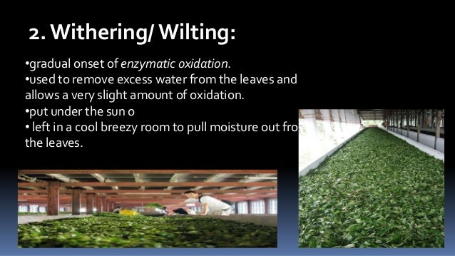 2. Withering/ Wilting: •gradual onset of enzymatic oxidation. •used to remove excess water from the leaves and allows a ve...