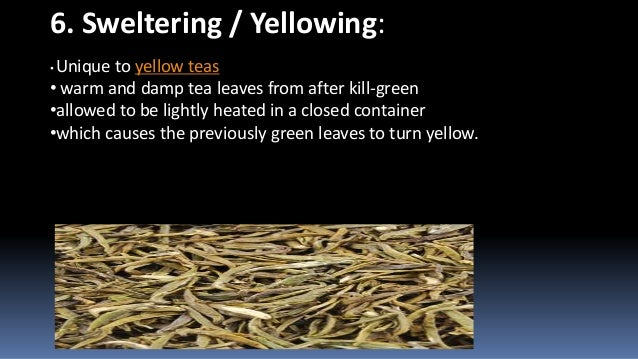 6. Sweltering / Yellowing: Unique to yellow teas • warm and damp tea leaves from after kill-green •allowed to be lightly h...