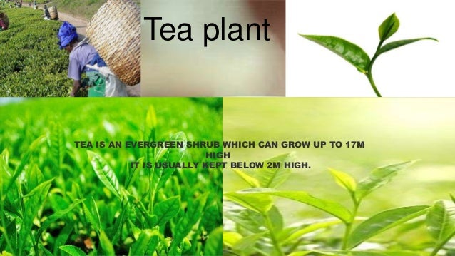Tea plant  TEA IS AN EVERGREEN SHRUB WHICH CAN GROW UP TO 17M HIGH IT IS USUALLY KEPT BELOW 2M HIGH.