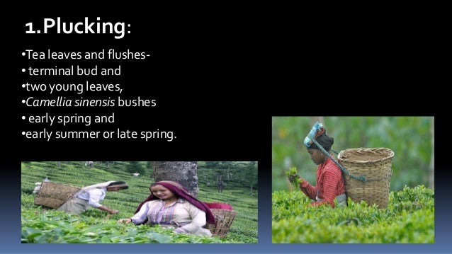 1.Plucking: •Tea leaves and flushes• terminal bud and •two young leaves, •Camellia sinensis bushes • early spring and •ear...