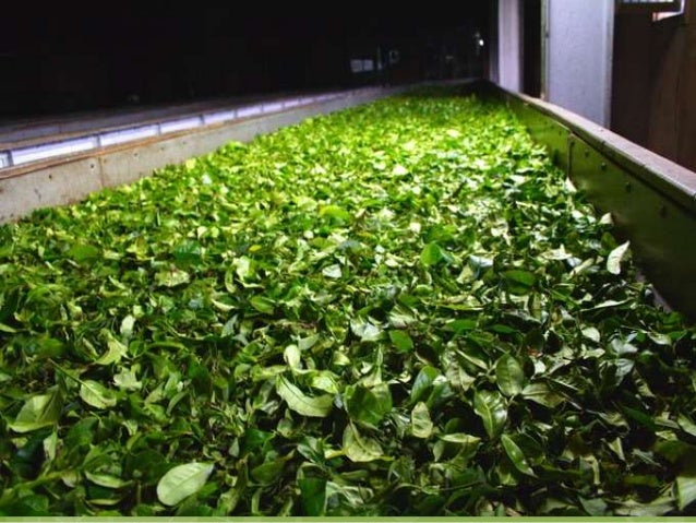 Disruption/ Rolling  the tea leaves are bruised or torn in order to promote and quicken oxidation.  The leaves may be li...