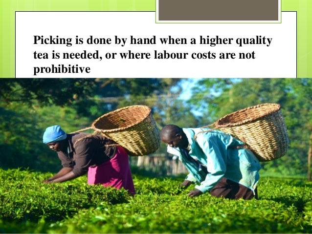 Picking is done by hand when a higher quality tea is needed, or where labour costs are not prohibitive