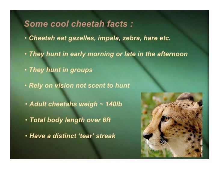 How Fast Do Cheetahs Run Tears Of The Cheetah
