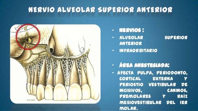 ÁREAS ANESTESIADAS- Dientes mandibulares de la línea media.-   Cuerpo de la mandíbula , porción inferior de la    rama.-  ...