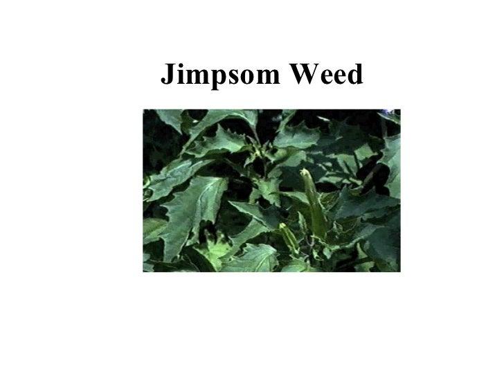 Jimpsom Weed