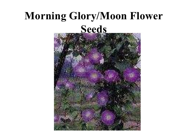 Morning Glory/Moon Flower Seeds