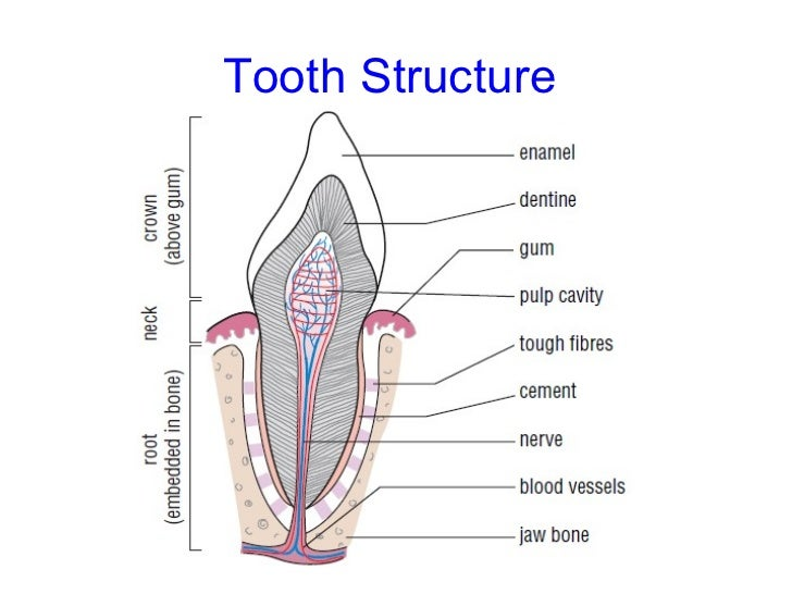 Diagram Of A Canine Tooth - Electrical Work Wiring Diagram •