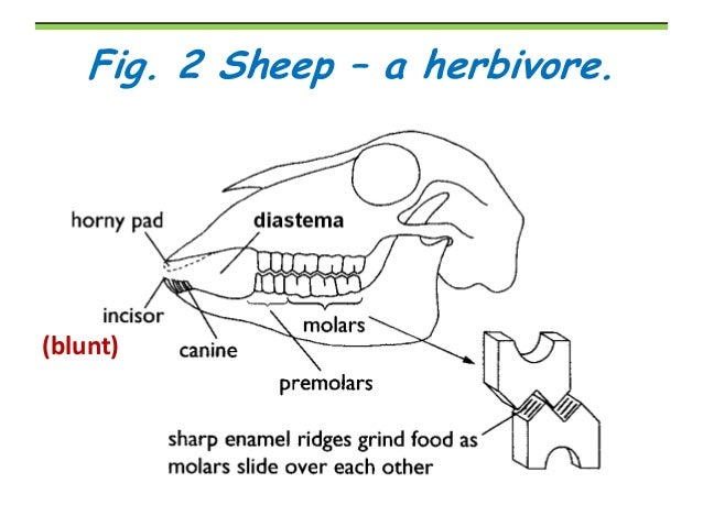 Herbivore Teeth Diagram - Circuit Diagram Symbols •