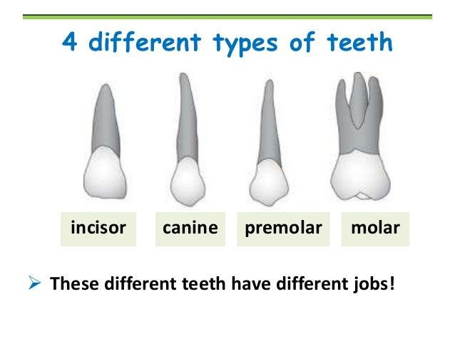 Tooth Type Diagram Data Wiring Diagram