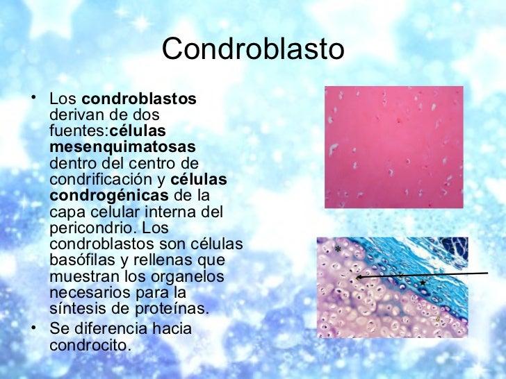 Condroblasto <ul><li>Los  condroblastos  derivan de dos fuentes: células mesenquimatosas  dentro del centro de condrificac...