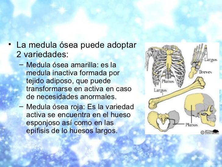 <ul><li>La medula ósea puede adoptar 2 variedades:  </li></ul><ul><ul><li>Medula ósea amarilla: es la medula inactiva form...