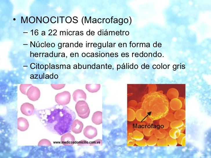 <ul><li>MONOCITOS (Macrofago) </li></ul><ul><ul><li>16 a 22 micras de diámetro </li></ul></ul><ul><ul><li>Núcleo grande ir...