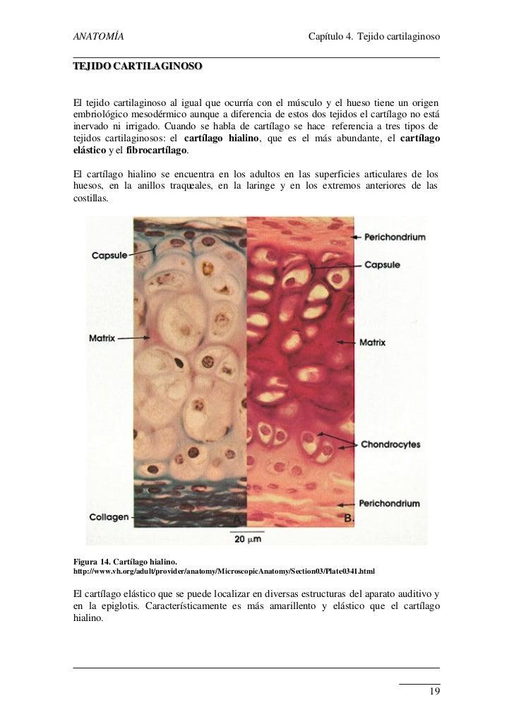 tejido-cartilaginoso-3-728.jpg?cb=1308513508