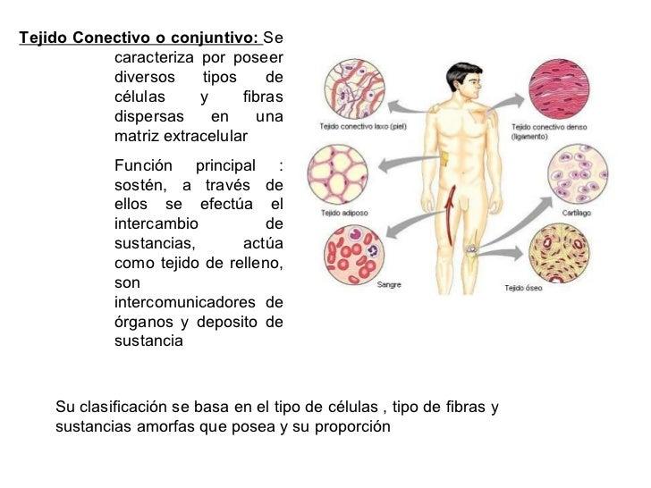 Tejido Conectivo o conjuntivo: Se            caracteriza por poseer            diversos    tipos     de            células...
