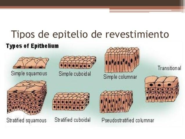 Tejido epitelial - Tipos de revestimientos de fachadas ...