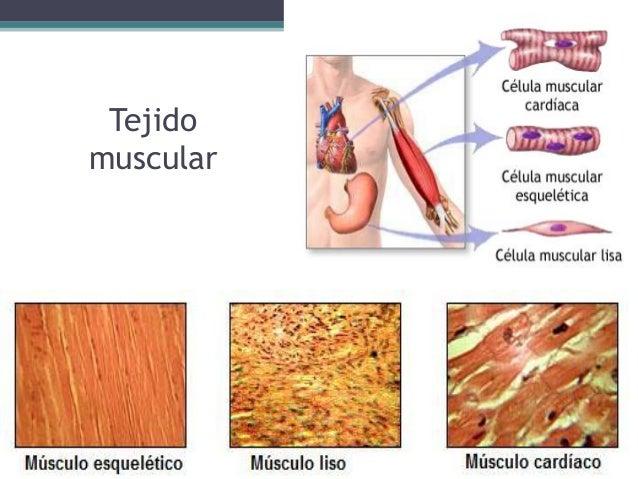 tejido-muscular-3-638.jpg?cb=1432660485