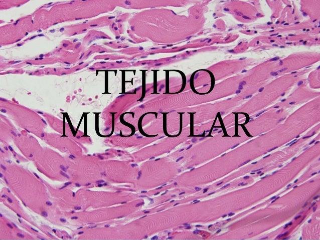 Tejido Muscular. •Genera movimiento. •Formado por células musculares •Capacidad de contracción.  Fibra muscular.