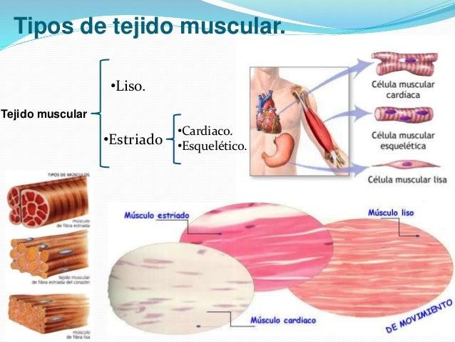 Tejido muscular pedro solera for Tipos de viveros pdf