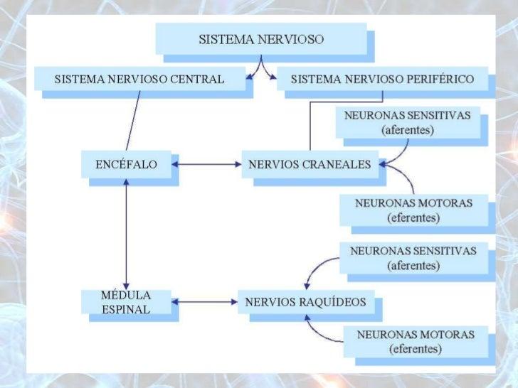 ANATOMIA Y FISIOLOGIA DEL SISTEMA NERVIOSO Y MUSCULAR Slide 3