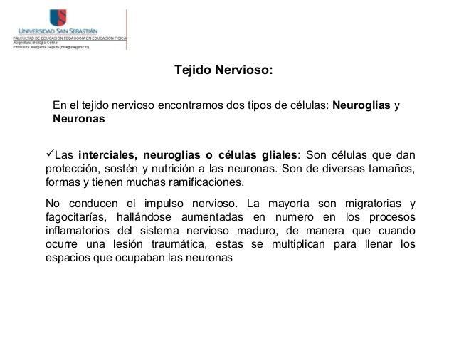Tejido Nervioso: En el tejido nervioso encontramos dos tipos de células: Neuroglias y NeuronasLas interciales, neuroglias...