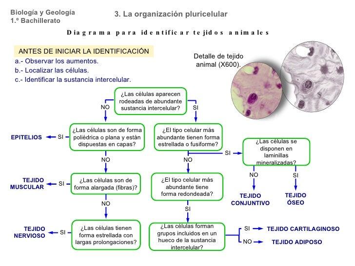Biología y Geología 1.º Bachillerato 3. La organización pluricelular Diagrama para identificar tejidos animales ANTES DE I...
