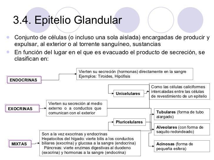 3.4. Epitelio Glandular <ul><li>Conjunto de células (o incluso una sola aislada) encargadas de producir y expulsar, al ext...