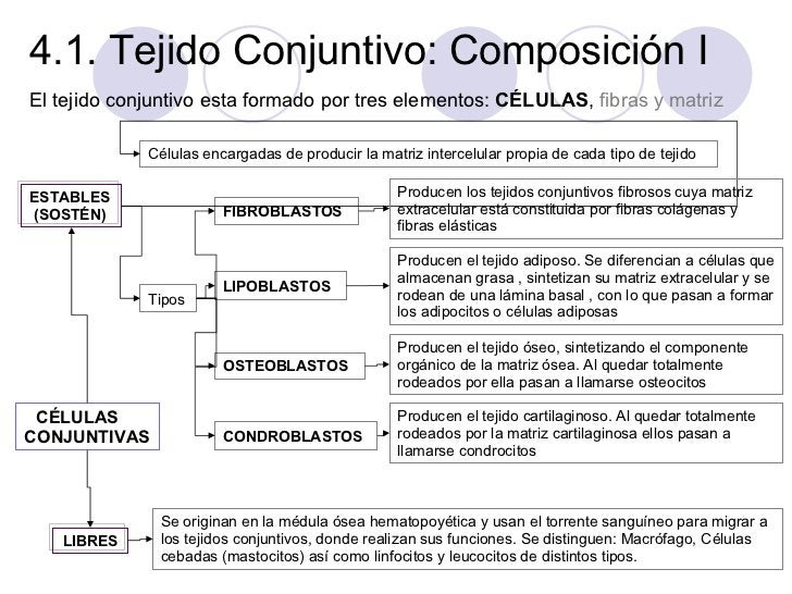 4.1. Tejido Conjuntivo: Composición I <ul><li>El tejido conjuntivo esta formado por tres elementos:  CÉLULAS ,  fibras y m...