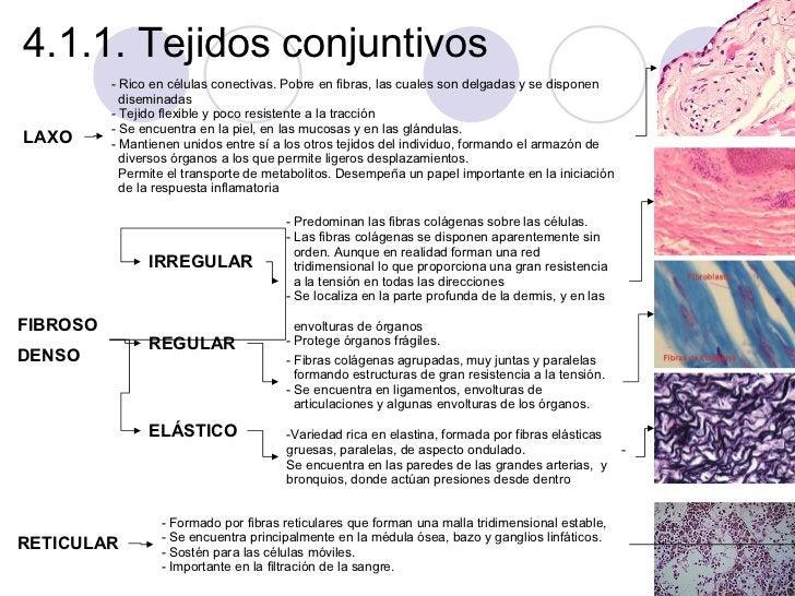 4.1.1. Tejidos conjuntivos  <ul><li>Rico en células conectivas. Pobre en fibras, las cuales son delgadas y se disponen  </...