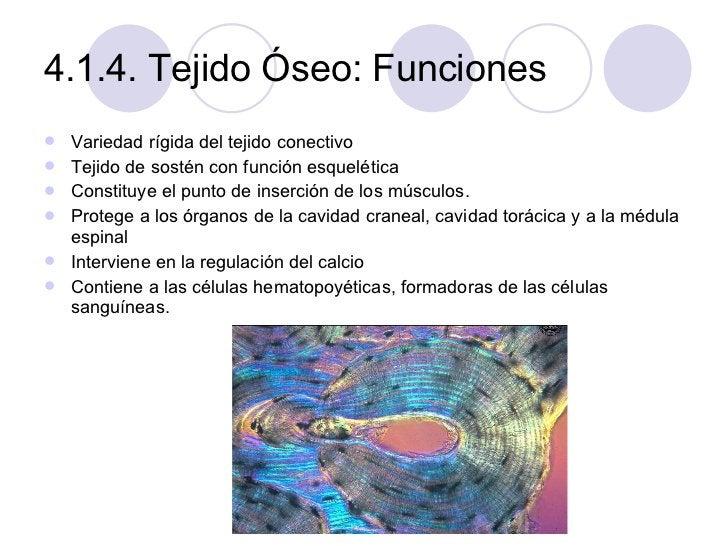 4.1.4. Tejido Óseo: Funciones <ul><li>Variedad rígida del tejido conectivo </li></ul><ul><li>Tejido de sostén con función ...