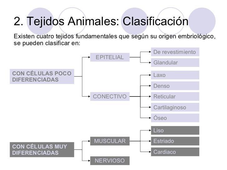 2. Tejidos Animales: Clasificación <ul><li>Existen cuatro tejidos fundamentales que según su origen embriológico, se puede...