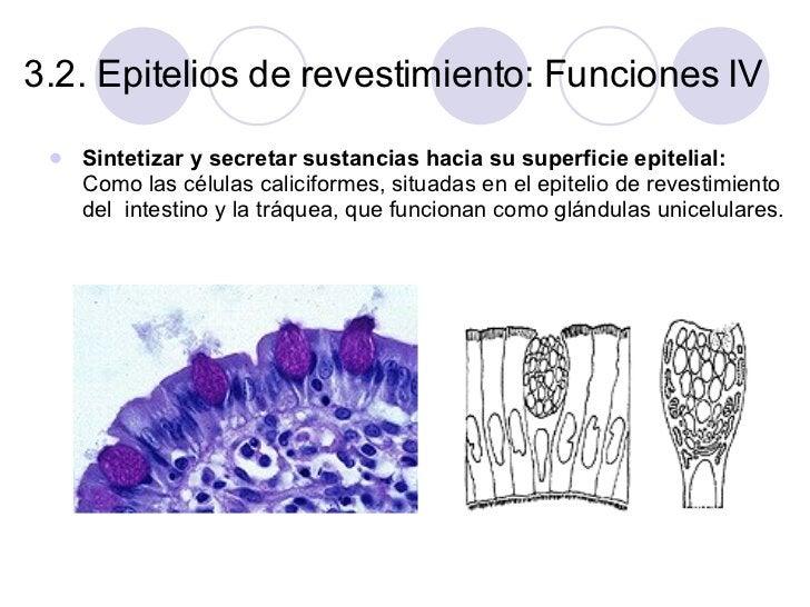 3.2. Epitelios de revestimiento: Funciones IV <ul><li>Sintetizar y secretar sustancias hacia su superficie epitelial:  Com...
