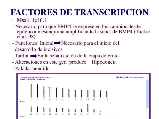 Dr. Juan Carlos Munévar N FACTORES DE TRANSCRIPCION • Msx1: 4p16.1 - Necesario para que BMP4 se exprese en los cambios des...