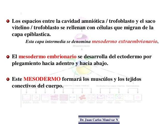 Dr. Juan Carlos Munévar N Los espacios entre la cavidad amniótica / trofoblasto y el saco vitelino / trofoblasto se rellen...