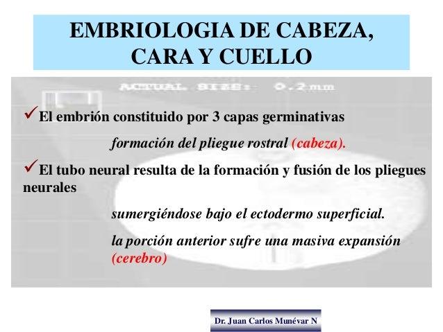 Dr. Juan Carlos Munévar N EMBRIOLOGIA DE CABEZA, CARA Y CUELLO El embrión constituido por 3 capas germinativas formación ...