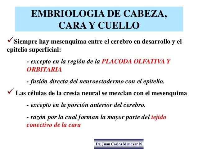 Dr. Juan Carlos Munévar N EMBRIOLOGIA DE CABEZA, CARA Y CUELLO Siempre hay mesenquima entre el cerebro en desarrollo y el...