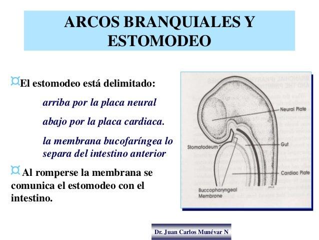Dr. Juan Carlos Munévar N ARCOS BRANQUIALES Y ESTOMODEO ¤El estomodeo está delimitado: arriba por la placa neural abajo po...
