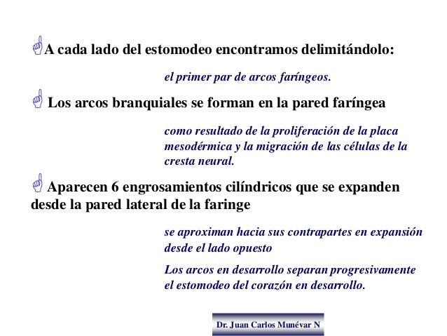 Dr. Juan Carlos Munévar N A cada lado del estomodeo encontramos delimitándolo: el primer par de arcos faríngeos.  Los ar...