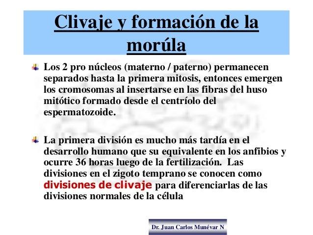 Dr. Juan Carlos Munévar N Clivaje y formación de la morúla Los 2 pro núcleos (materno / paterno) permanecen separados hast...