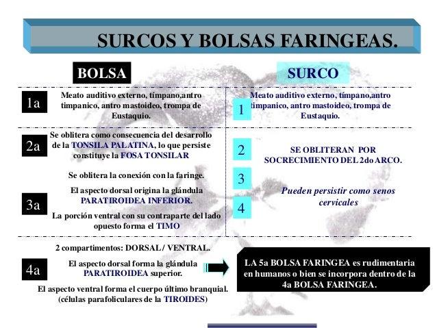 Dr. Juan Carlos Munévar N Meato auditivo externo, tímpano,antro timpanico, antro mastoideo, trompa de Eustaquio. SURCOS Y ...
