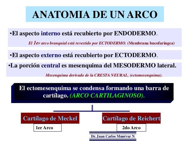 Dr. Juan Carlos Munévar N ANATOMIA DE UN ARCO El ectomesenquima se condensa formando una barra de cartílago. (ARCO CARTILA...