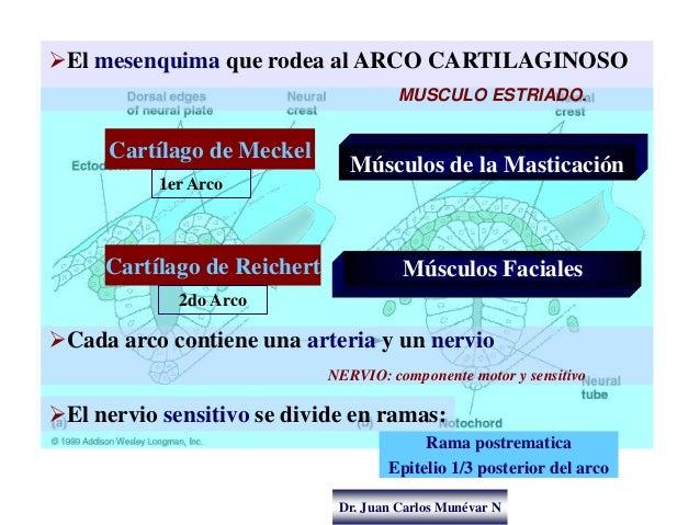 Dr. Juan Carlos Munévar N Músculos de la Masticación El mesenquima que rodea al ARCO CARTILAGINOSO MUSCULO ESTRIADO. El ...