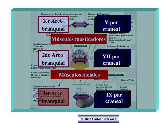 Dr. Juan Carlos Munévar N V par craneal 1er Arco branquial Músculos masticadores VII par craneal 2do Arco branquial IX par...