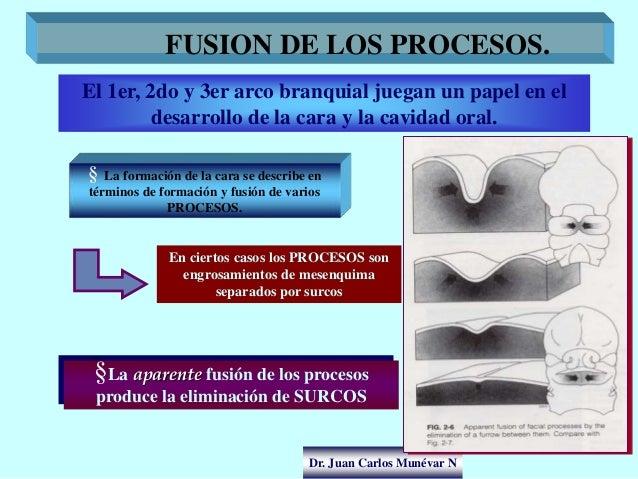 Dr. Juan Carlos Munévar N FUSION DE LOS PROCESOS. El 1er, 2do y 3er arco branquial juegan un papel en el desarrollo de la ...