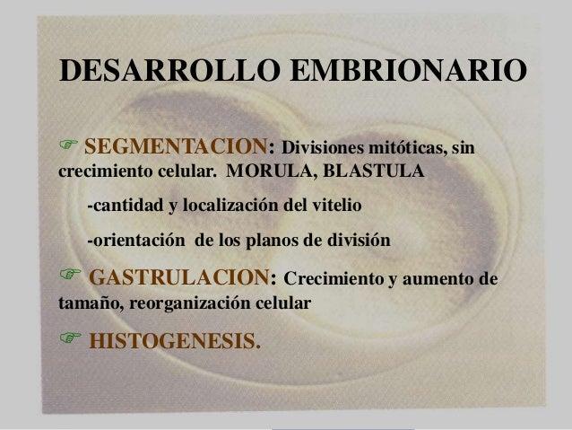 Dr. Juan Carlos Munévar N DESARROLLO EMBRIONARIO  SEGMENTACION: Divisiones mitóticas, sin crecimiento celular. MORULA, BL...