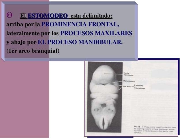 Dr. Juan Carlos Munévar N  El ESTOMODEO esta delimitado; arriba por la PROMINENCIA FRONTAL, lateralmente por los PROCESOS...