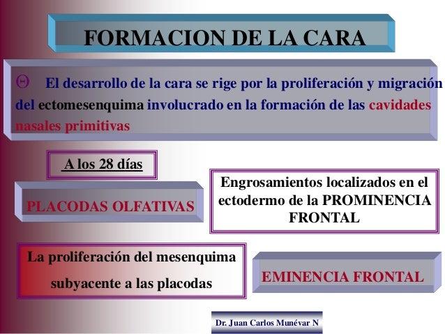 Dr. Juan Carlos Munévar N  El desarrollo de la cara se rige por la proliferación y migración del ectomesenquima involucra...