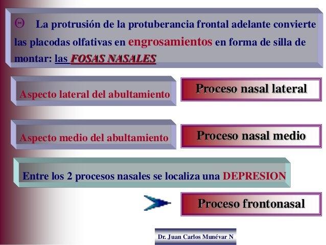 Dr. Juan Carlos Munévar N  La protrusión de la protuberancia frontal adelante convierte las placodas olfativas en engrosa...