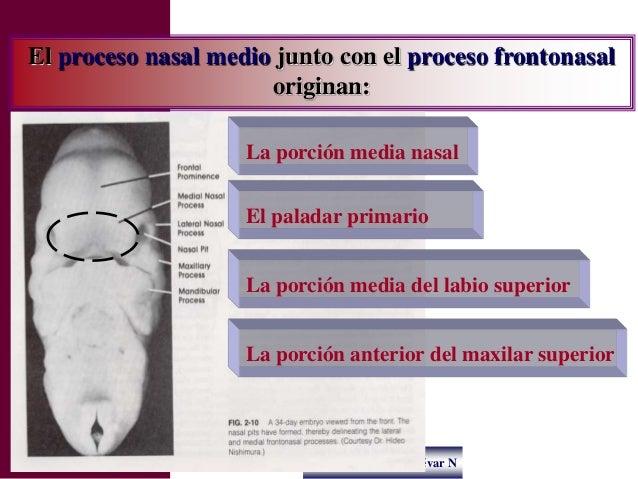Dr. Juan Carlos Munévar N El proceso nasal medio junto con el proceso frontonasal originan: La porción media nasal La porc...